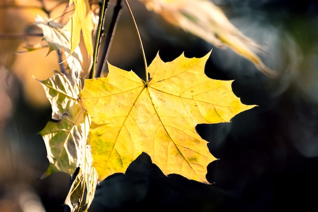 Foglia d'acero giallo brillante nel bosco