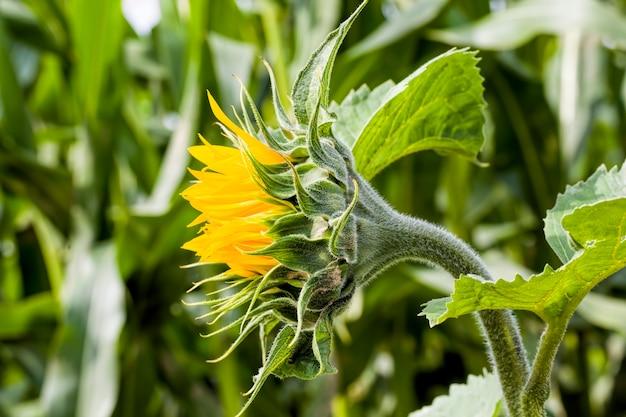 Petali giallo brillante su girasoli gialli, un campo in cui i girasoli vengono coltivati per l'uso nell'industria alimentare