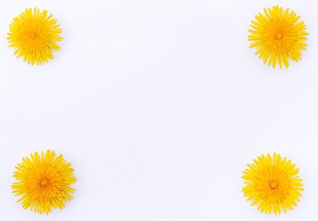 Primo piano giallo brillante dei denti di leone della molla isolato su fondo bianco