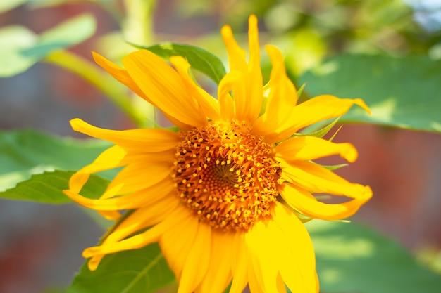 Primo piano giallo brillante del girasole. fiori estivi, semi di girasole.