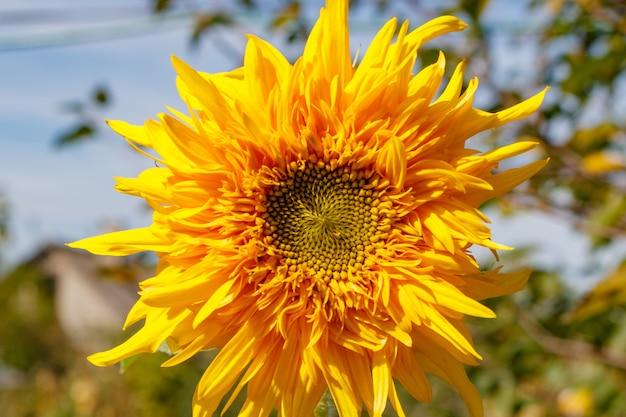 Primo piano giallo brillante del girasole alla luce del sole