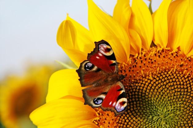 Girasole giallo brillante con farfalla in una soleggiata mattina d'estate.