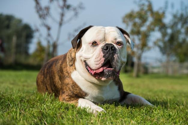 Ritratto di cane bulldog americano cappotto tigrato in cortile