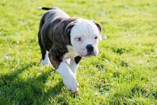 Cucciolo di cane bulldog americano cappotto tigrato è in esecuzione su erba verde