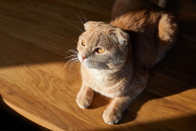 Il gatto britannico è sdraiato sul tavolo di legno alla luce del sole a casa