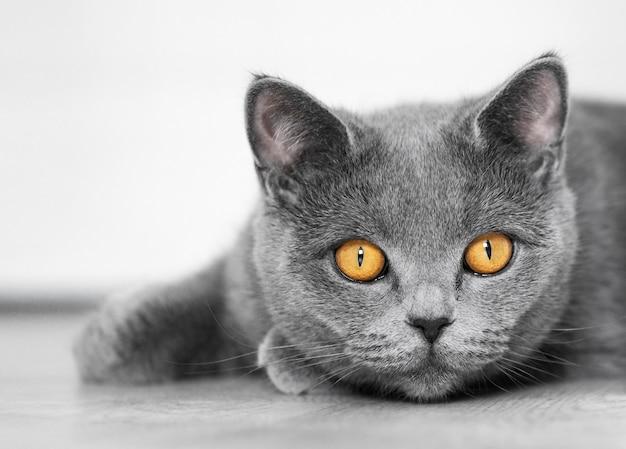 Un gatto britannico giace su un pavimento bianco e guarda la telecamera