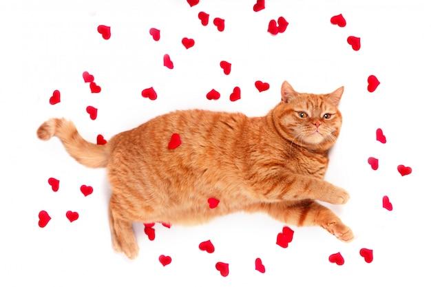 Gatto britannico, ritratto gatto, san valentino, cuore