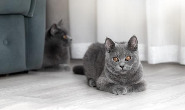 I gatti britannici sono sdraiati sul pavimento