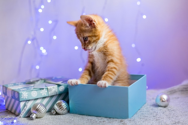 Gattino britannico, natale e capodanno, gatto ritratto su uno sfondo a colori da studio. foto di alta qualità