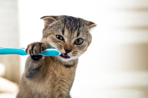 Gattino britannico e uno spazzolino da denti. il gatto si lava i denti