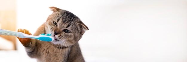 Gattino britannico e uno spazzolino da denti