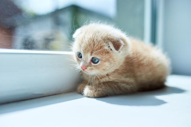 Piccolo gattino giocoso britannico a casa vicino alla finestra