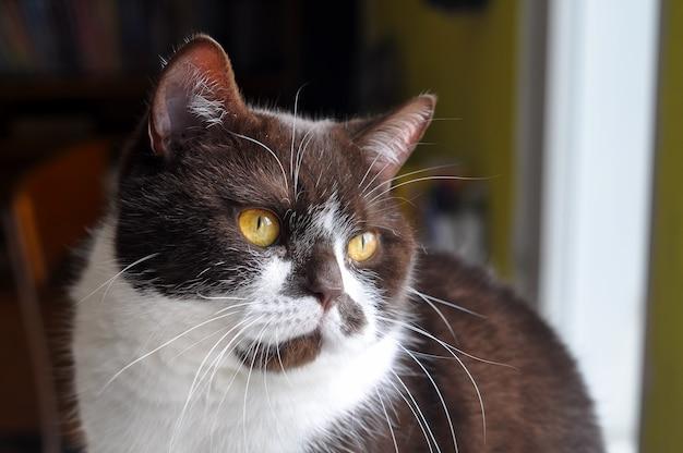 Gatto british a pelo corto con occhi giallo brillante