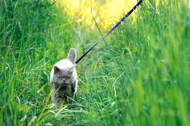 Il gatto maschio britannico a pelo corto cammina al guinzaglio sull'erba alta verde in campagna