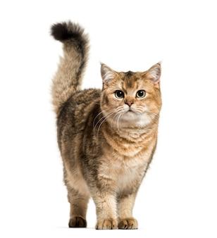 Gatto british shorthair isolato da vicino