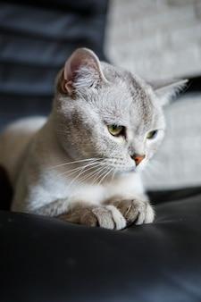 Gatto britannico a pelo corto seduto sul pavimento di legno e guardando di lato