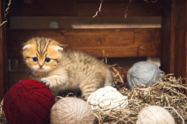 Gattino britannico a pelo corto che gioca con gomitoli di filo in una scatola di legno. stile rustico.