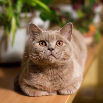 Gatto lilla british shorthair