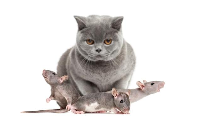 British shorthair e tre giovani ratti glabri, isolati su bianco
