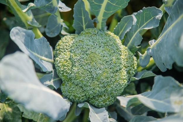 Cavolo broccolo in giardino. messa a fuoco selettiva.