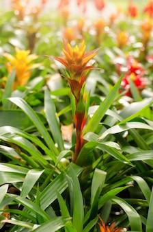 Fiore di bromeliad che fiorisce nel giardino