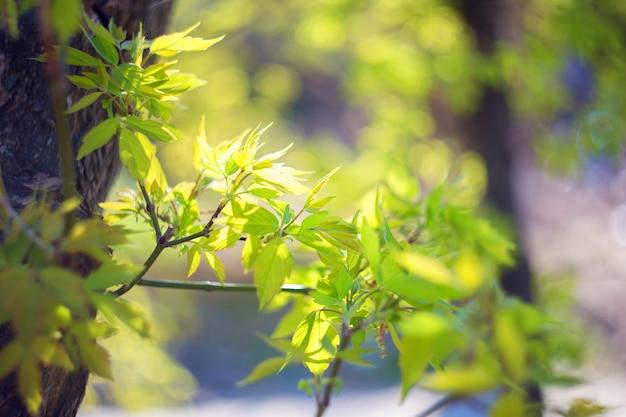 Brotes verdes jóvenes, hojas de arce frescas que florecen a la luz del sol