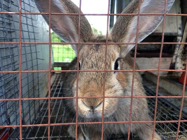Coniglio adulto marrone in una gabbia con un reticolo metallico, allevamento