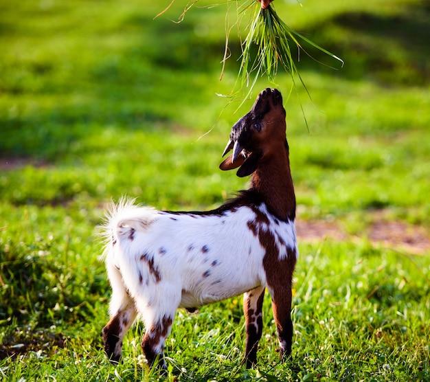 I bambini della capra del bambino del brown stanno nell'erba di estate. carino con divertente.