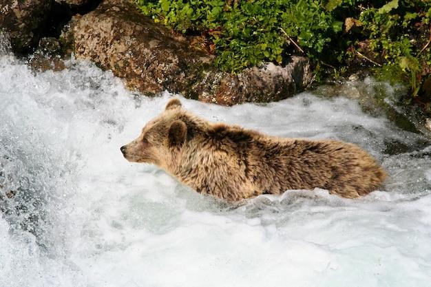 Orso bruno che bagna nel flusso dell'acqua nella natura di estate