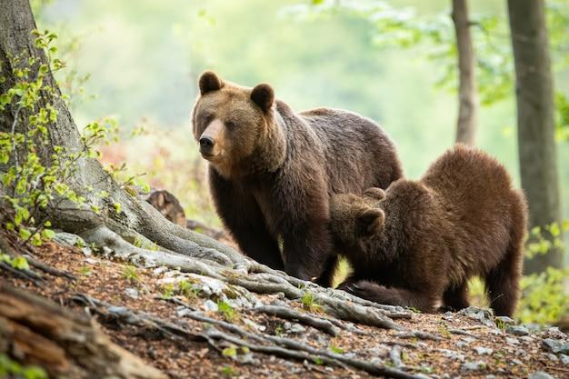 Cucciolo di orso bruno che si inginocchia da sua madre e che beve latte in foresta verde