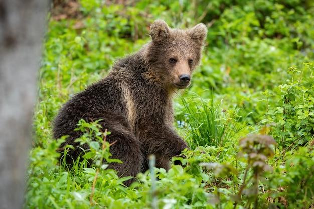 Cucciolo di orso bruno che riposa nella foresta verde nella natura di estate
