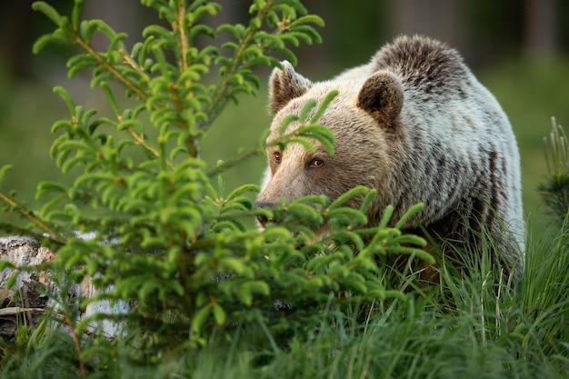Orso bruno che si nasconde dietro un albero di abete rosso nella natura primaverile