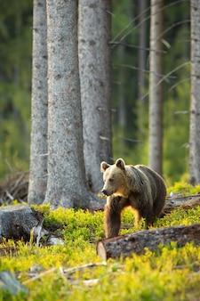 Orso bruno che osserva da parte retroilluminato dal sole del mattino nella foresta di abeti rossi in primavera