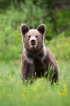 Orso bruno che guarda la telecamera sul prato in fiore