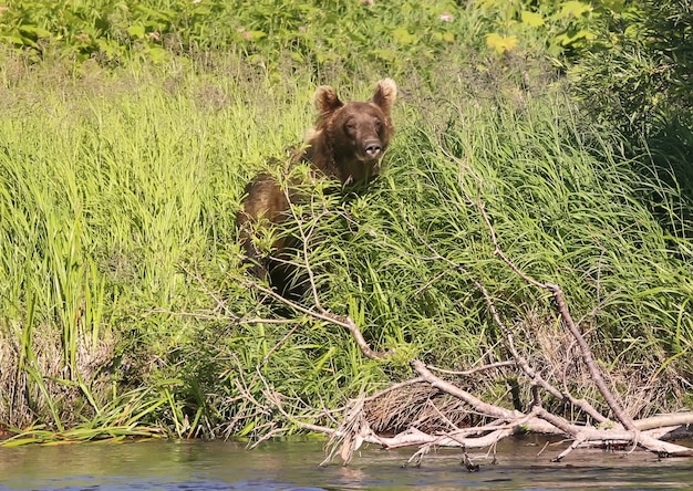 L'orso bruno esamina la macchina fotografica dall'erba alta sulla riva del fiume, la foresta della taiga sullo sfondo. viste panoramiche osservando il mondo animale. vera avventura della kamchatka, estremo oriente russo. spazio del copyright