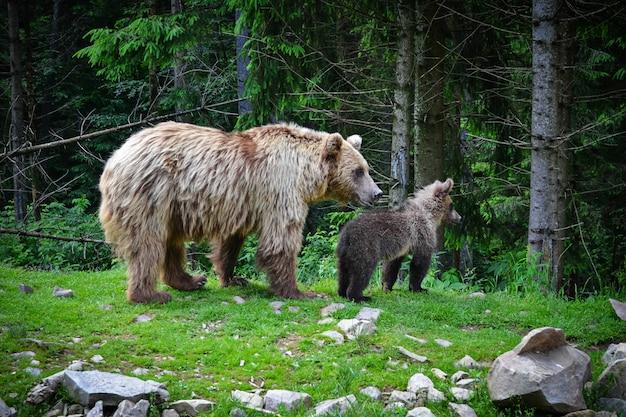 Orso bruno madre e cucciolo