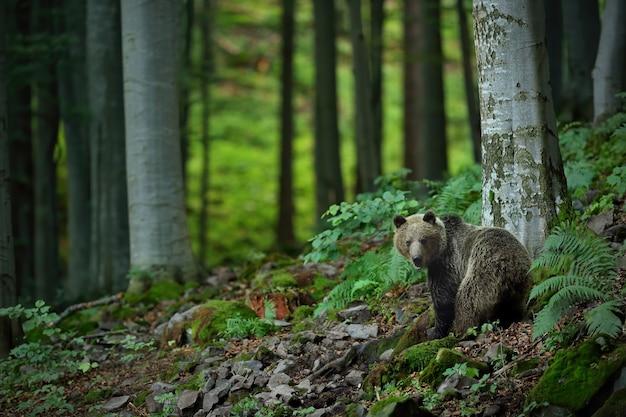 Orso bruno osservando nella foresta nella natura estiva