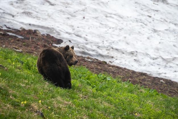 Orso bruno osservando sui prati nella natura primaverile