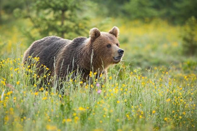 Orso bruno in piedi sul prato fiorito nella natura estiva