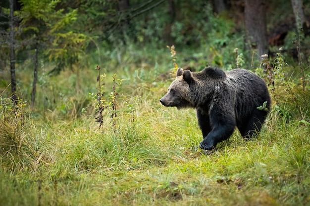 Orso bruno in piedi sulla radura nel mezzo della foresta
