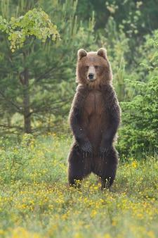 Orso bruno in piedi su una radura fiorita nella foresta estiva
