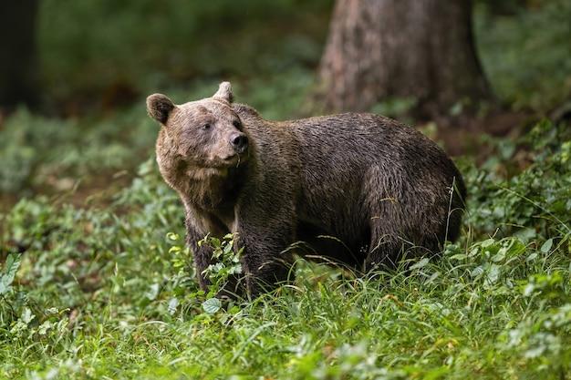 Orso bruno in piedi nel bosco in estate natura