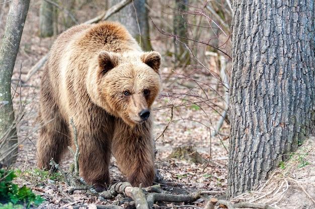 L'orso bruno (ursus arctos), grande maschio, cammina nella foresta