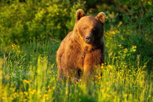 Orso bruno che cammina sul prato in estate al tramonto