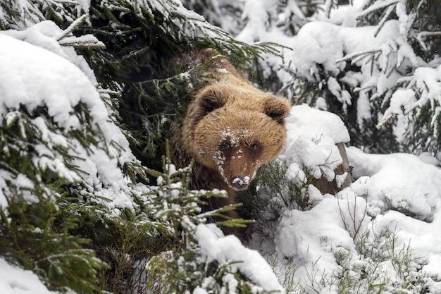 Orso bruno nella foresta invernale. pericolo animale nell'habitat naturale.