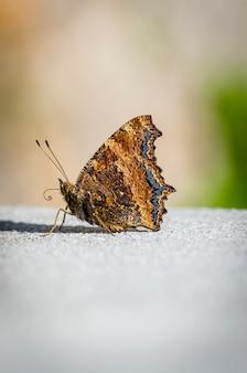 Farfalla marrone su una lastra di cemento
