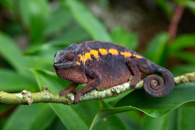 Camaleonte marrone su un ramo in natura