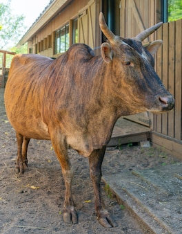 Mucca marrone in una fattoria in una giornata estiva. animale domestico carino.