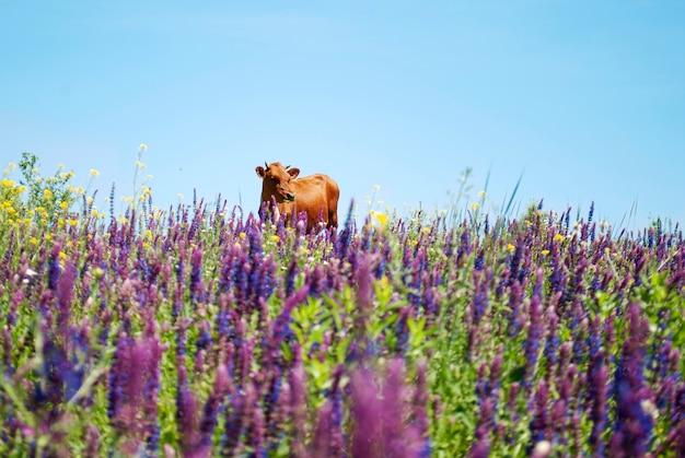 Una mucca marrone in un campo tra i fiori viola contro un cielo blu.