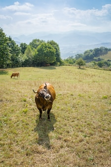 Mucche marroni al pascolo su un prato nelle asturie, spagna